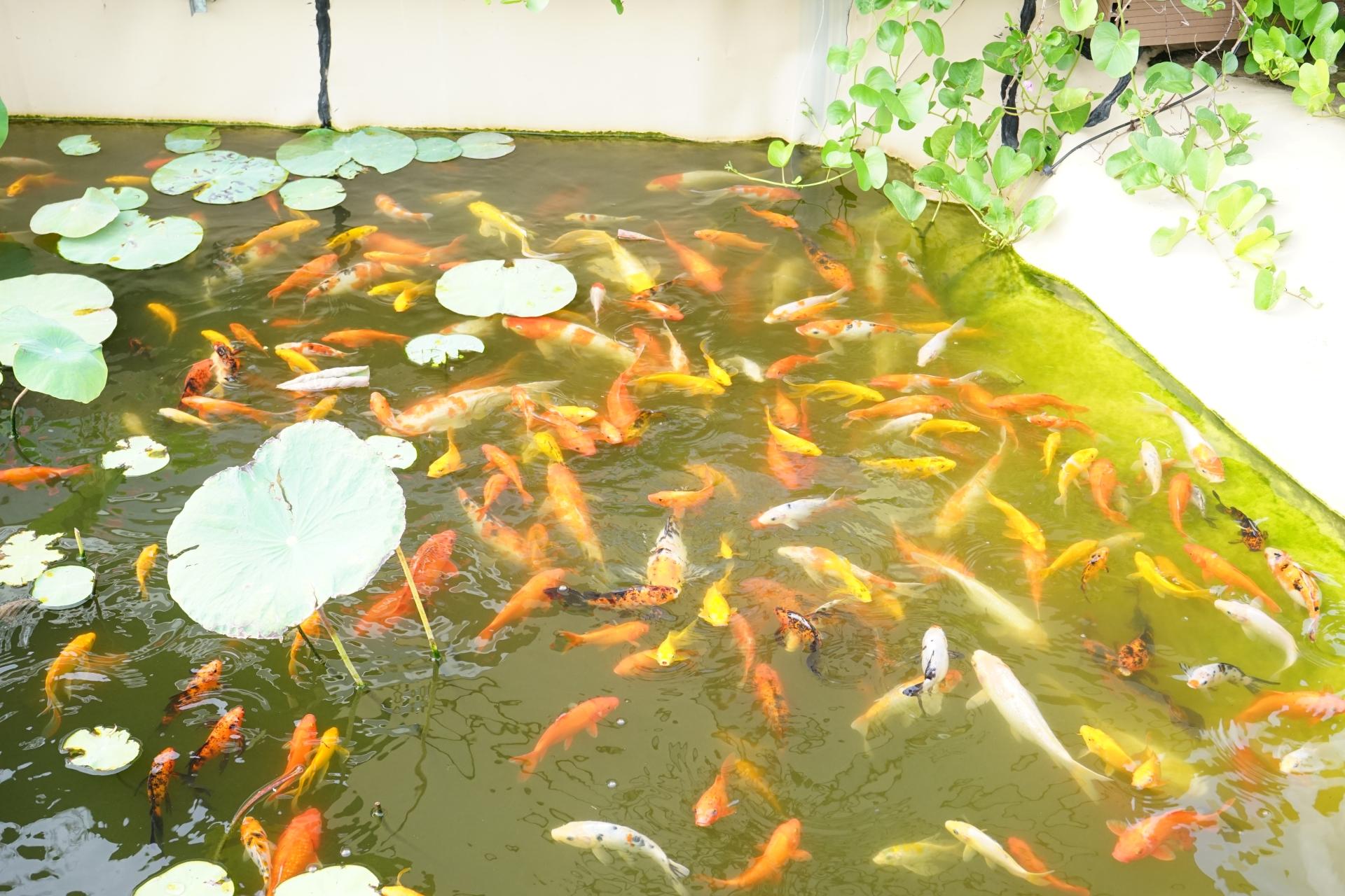 屋外の金魚