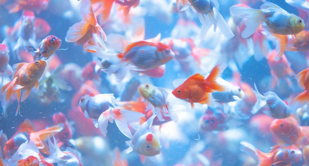 病気の金魚