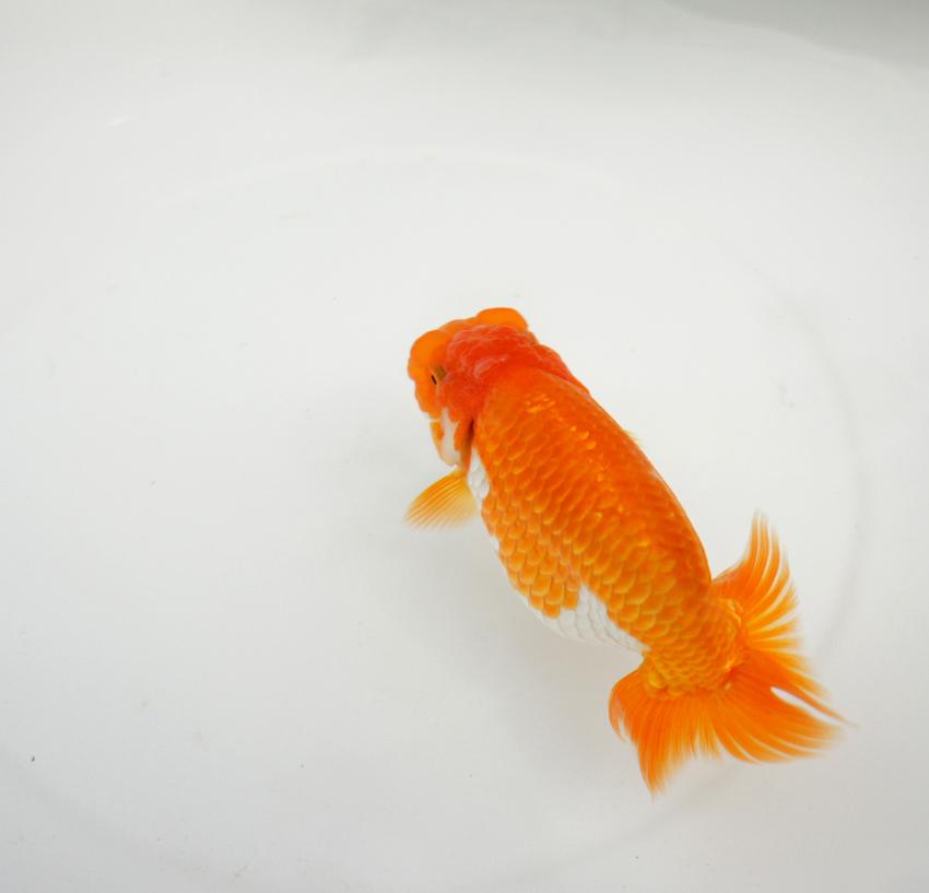 塩浴の金魚