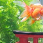 金魚の水槽